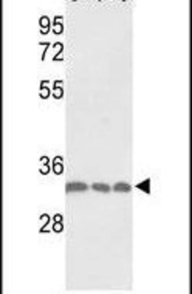 PCNA Rabbit anti-Human, Polyclonal, Invitrogen 400 µL; Unconjugated