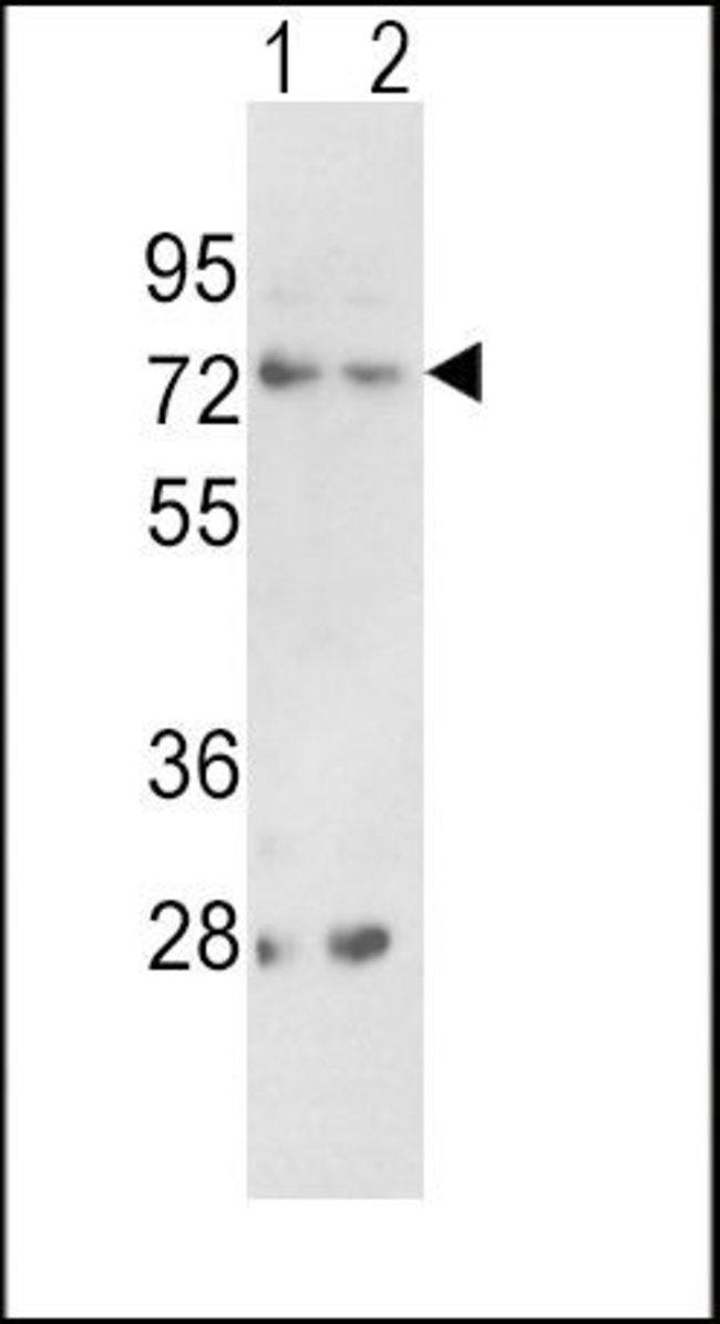 PCSK2 Rabbit anti-Human, Polyclonal, Invitrogen 400 µL; Unconjugated