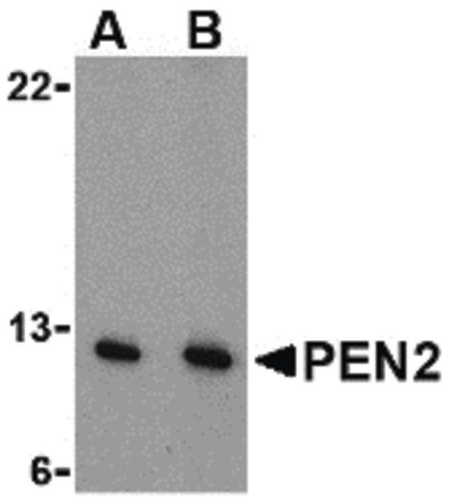 PEN2 Rabbit anti-Human, Mouse, Rat, Polyclonal, Invitrogen 100 µg;