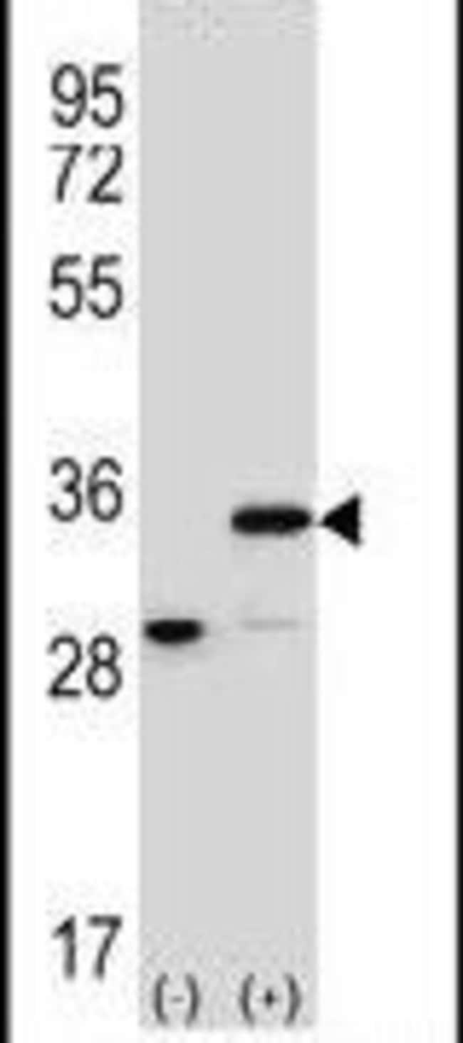 Prohibitin Rabbit anti-Human, Polyclonal, Invitrogen 400 µL; Unconjugated