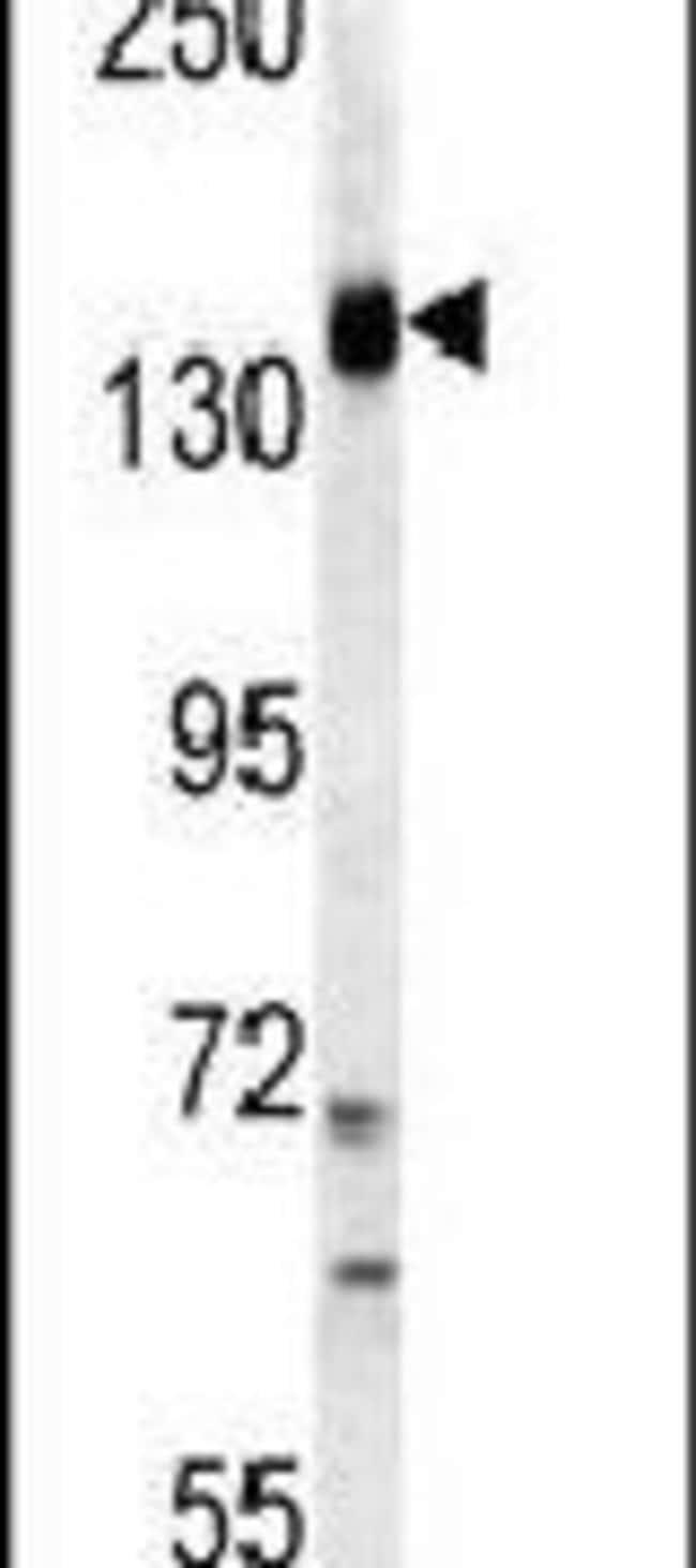 PIK3CG Rabbit anti-Human, Polyclonal, Invitrogen 400 µL; Unconjugated