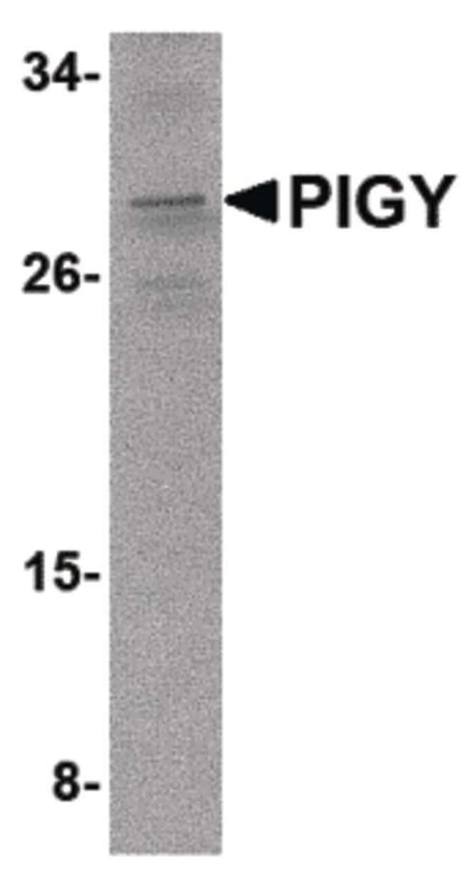 PIGY Rabbit anti-Human, Mouse, Polyclonal, Invitrogen 100 µg; Unconjugated