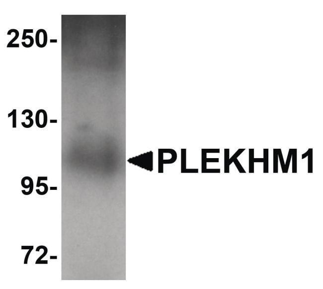 PLEKHM1 Rabbit anti-Human, Polyclonal, Invitrogen 100 µg; Unconjugated