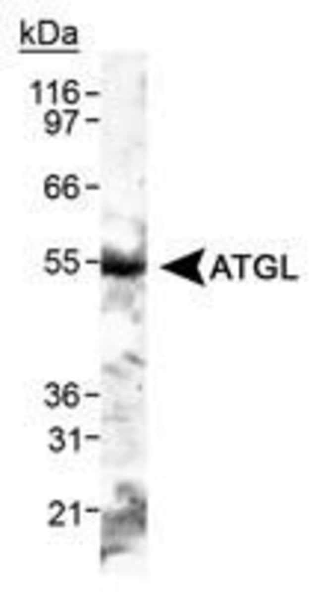 ATGL Rabbit anti-Human, Mouse, Polyclonal, Invitrogen 100 µL; Unconjugated