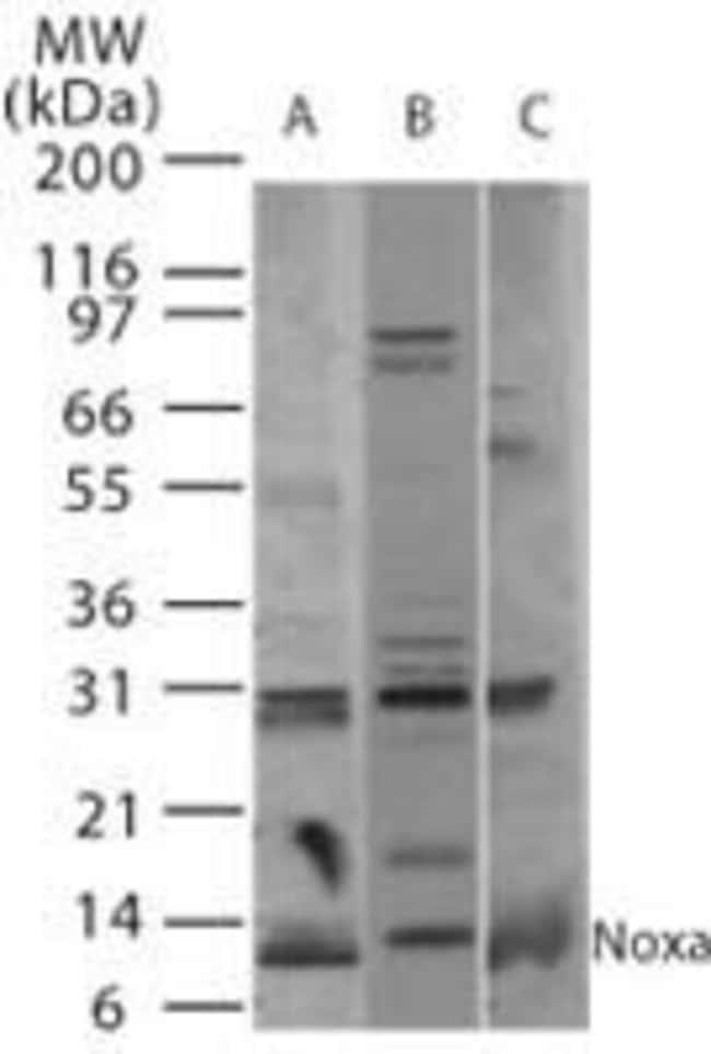 NOXA Rabbit anti-Human, Mouse, Rat, Polyclonal, Invitrogen 100 µg;