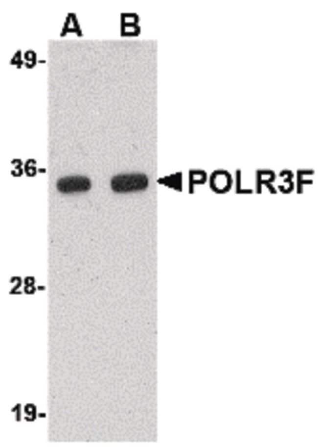 POLR3F Rabbit anti-Human, Mouse, Rat, Polyclonal, Invitrogen 100 µg;