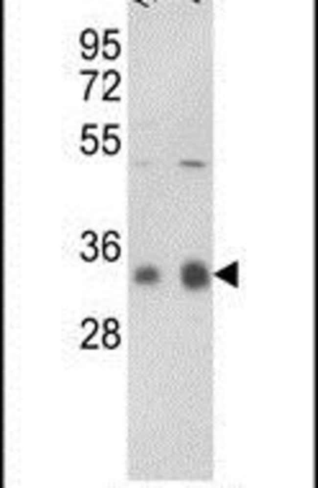 PP1 gamma Rabbit anti-Human, Polyclonal, Invitrogen 400 µL; Unconjugated