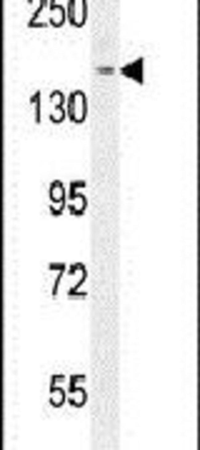 PPRC1 Rabbit anti-Human, Polyclonal, Invitrogen 400 µL; Unconjugated