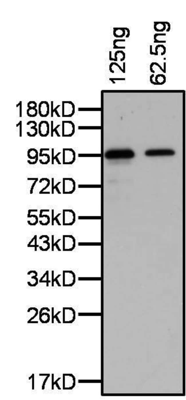 PRDM14 Rabbit anti-Human, Polyclonal, Invitrogen 100 µg; Unconjugated