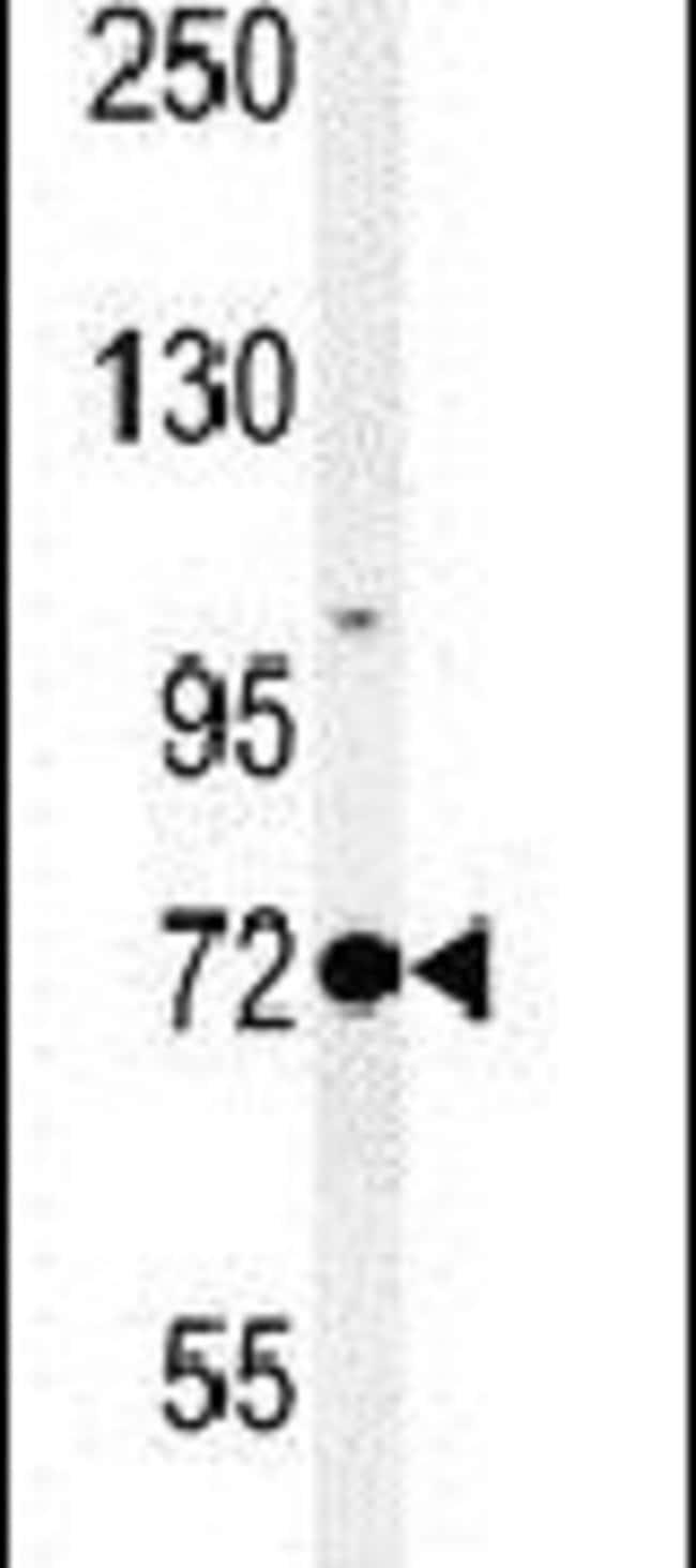 PROX1 Rabbit anti-Human, Mouse, Polyclonal, Invitrogen 400 µL; Unconjugated