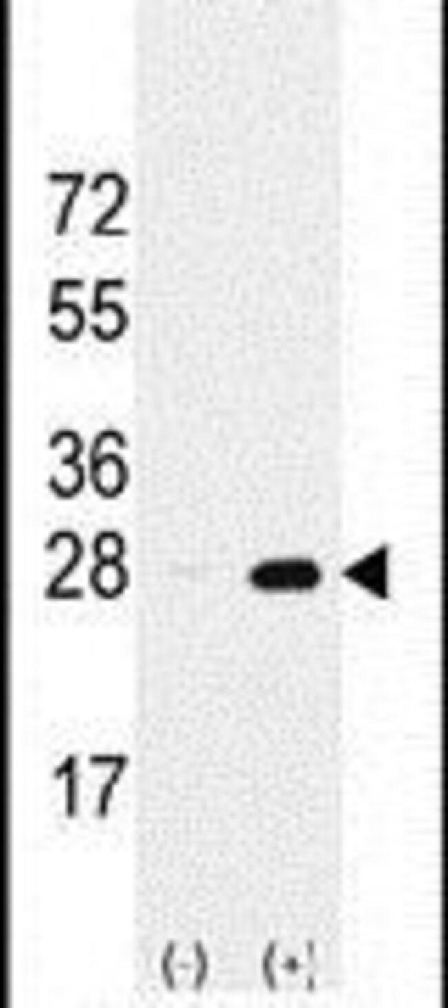 PSMA5 Rabbit anti-Human, Polyclonal, Invitrogen 400 µL; Unconjugated