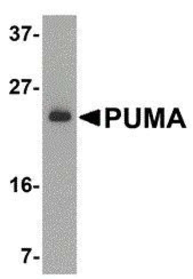 PUMA alpha Rabbit anti-Human, Polyclonal, Invitrogen 100 µg; Unconjugated