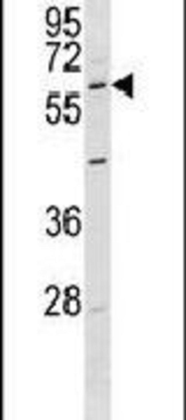 GPR37 Rabbit anti-Human, Mouse, Polyclonal, Invitrogen 400 µL; Unconjugated