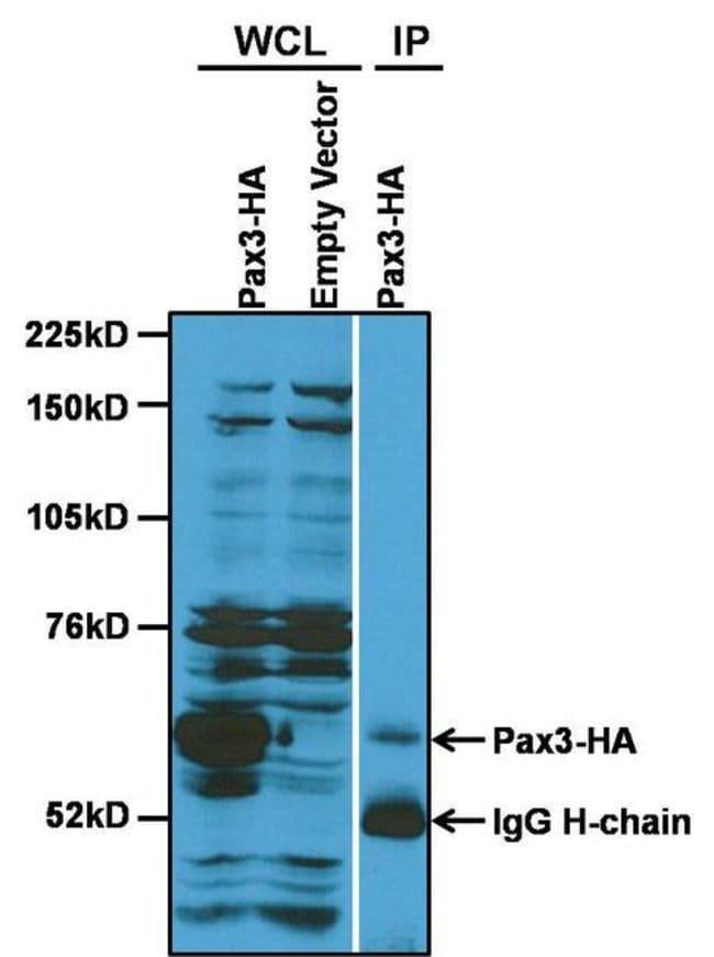 PAX3 Rabbit anti-Human, Mouse, Polyclonal, Invitrogen 100 µg; Unconjugated
