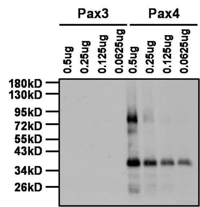 PAX4 Rabbit anti-Human, Mouse, Polyclonal, Invitrogen 100 µg; Unconjugated