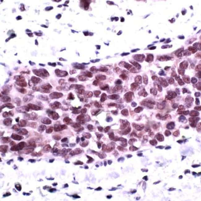 Phospho-AKT1 (Ser473) Rabbit anti-Human, Polyclonal, Invitrogen 1 mL; Unconjugated:Antibodies