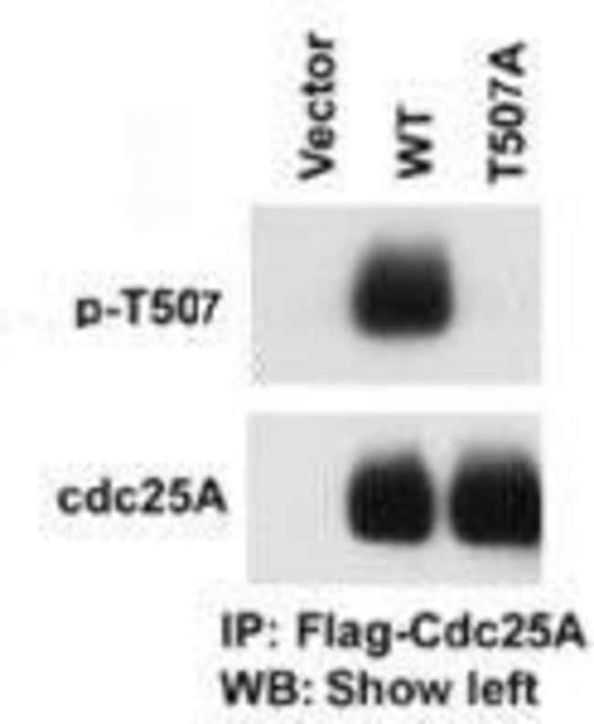 Phospho-Cdc25A (Thr507) Rabbit anti-Human, Polyclonal, Invitrogen 400 µL;