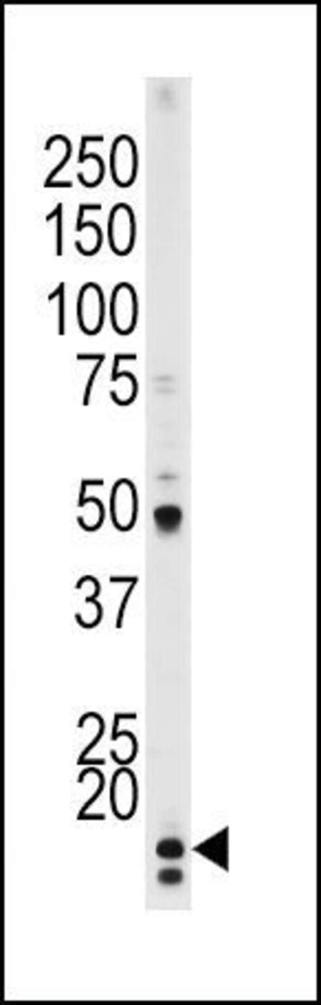 Phospho-p21 (Thr145) Rabbit anti-Human, Polyclonal, Invitrogen 400 µL;