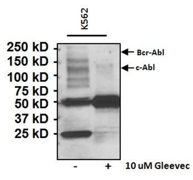 Phosphotyrosine Mouse anti-Chemical, Clone: IG2, Invitrogen 100 µg;