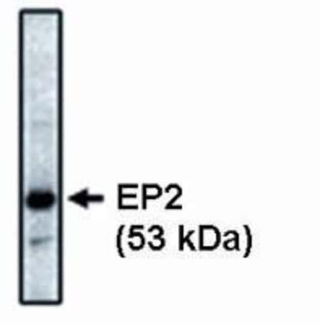 PTGER2 Mouse anti-Bovine, Human, Rat, Clone: 3E6, Invitrogen 100 μg;