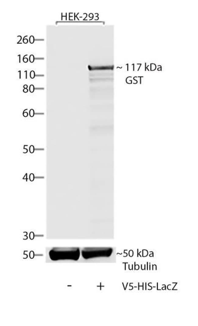 V5 Tag Mouse anti-Tag, Clone:, Invitrogen™ 50 μL; Unconjugated Primary Antibodies V