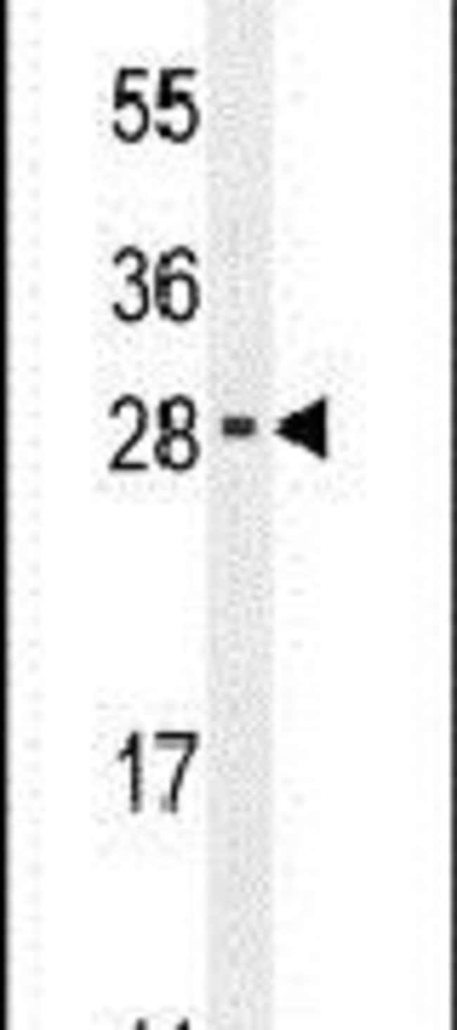 RELL2 Rabbit anti-Human, Mouse, Polyclonal, Invitrogen 400 µL; Unconjugated
