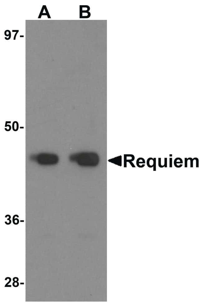 DPF2 Rabbit anti-Human, Mouse, Polyclonal, Invitrogen 100 µg; Unconjugated