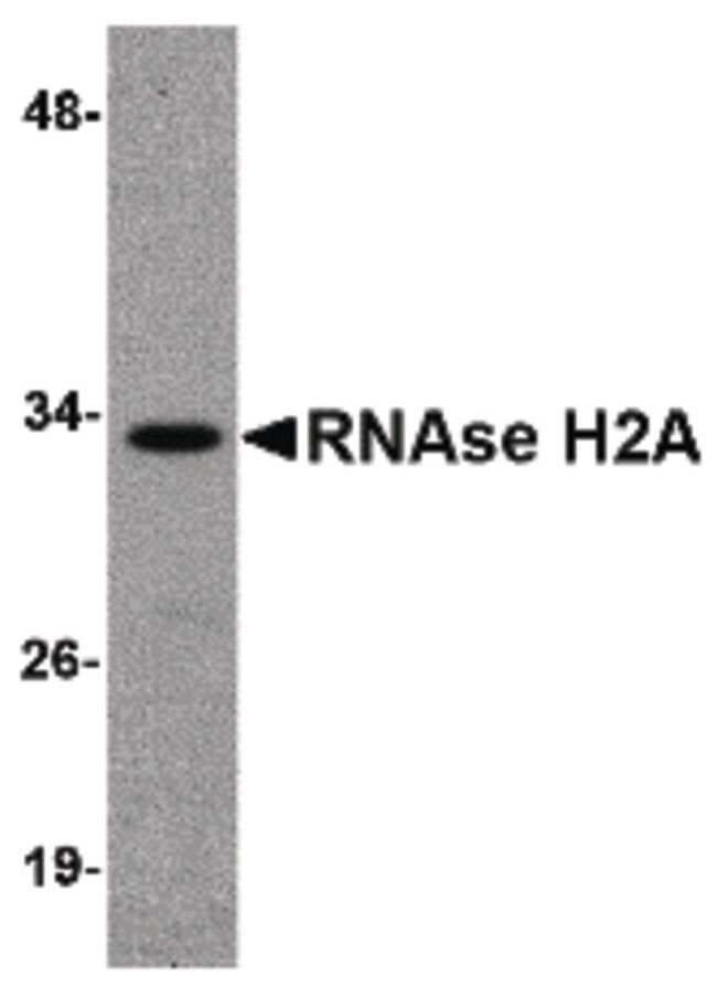 RNAse H2A Rabbit anti-Human, Mouse, Rat, Polyclonal, Invitrogen 100 µg;