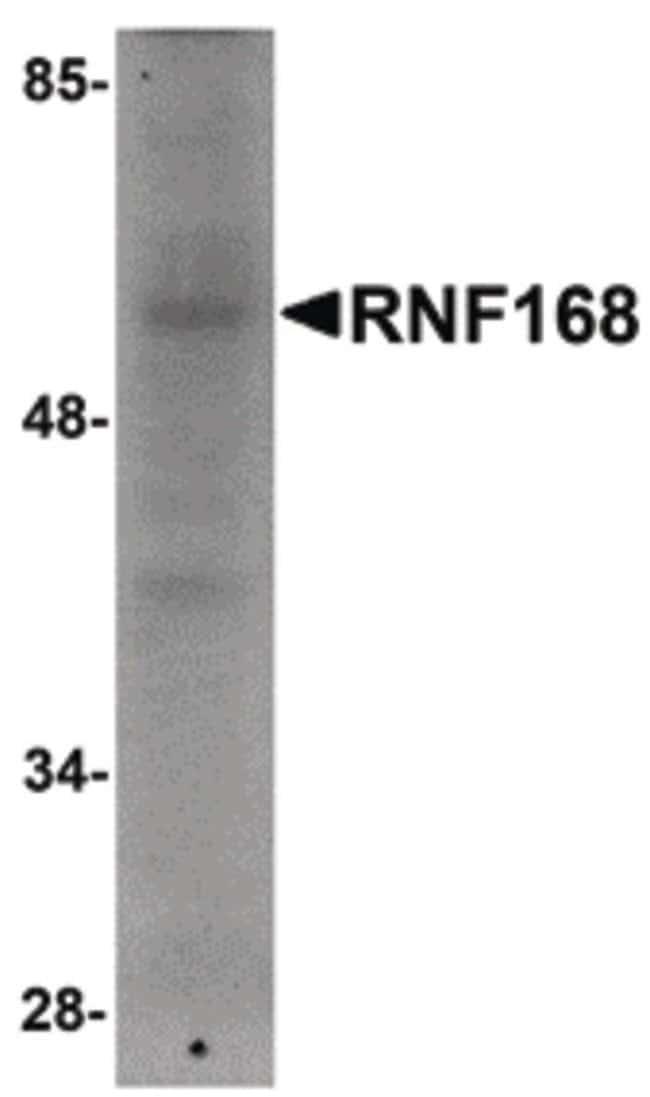 RNF168 Rabbit anti-Human, Mouse, Polyclonal, Invitrogen 100 µg; Unconjugated