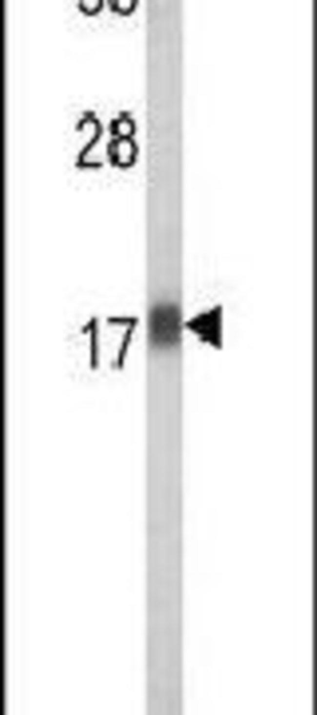 RPL31 Rabbit anti-Human, Polyclonal, Invitrogen 400 µL; Unconjugated