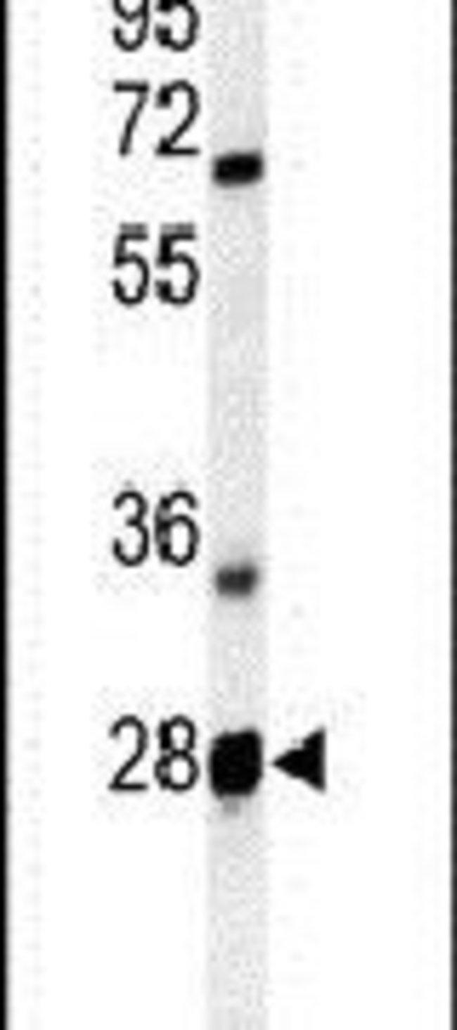RTP2 Rabbit anti-Human, Mouse, Polyclonal, Invitrogen 400 µL; Unconjugated