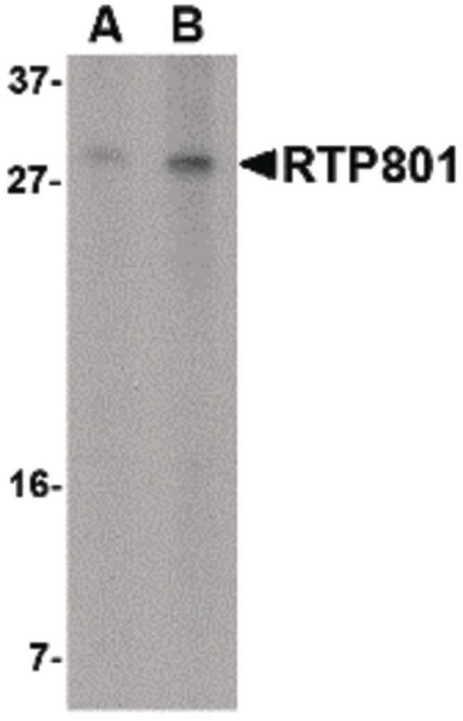 DDIT4 Rabbit anti-Human, Mouse, Rat, Polyclonal, Invitrogen 100 µg;