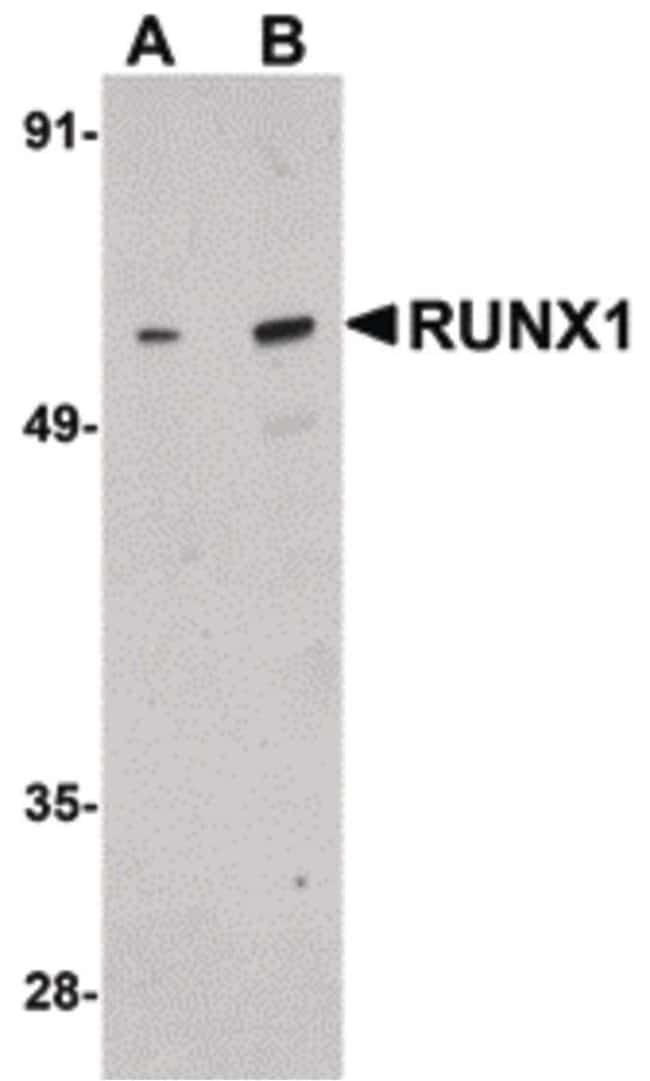 RUNX1 Rabbit anti-Human, Mouse, Rat, Polyclonal, Invitrogen 100 µg;