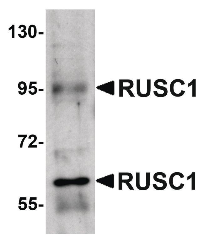 RUSC1 Rabbit anti-Human, Mouse, Rat, Polyclonal, Invitrogen 100 µg;
