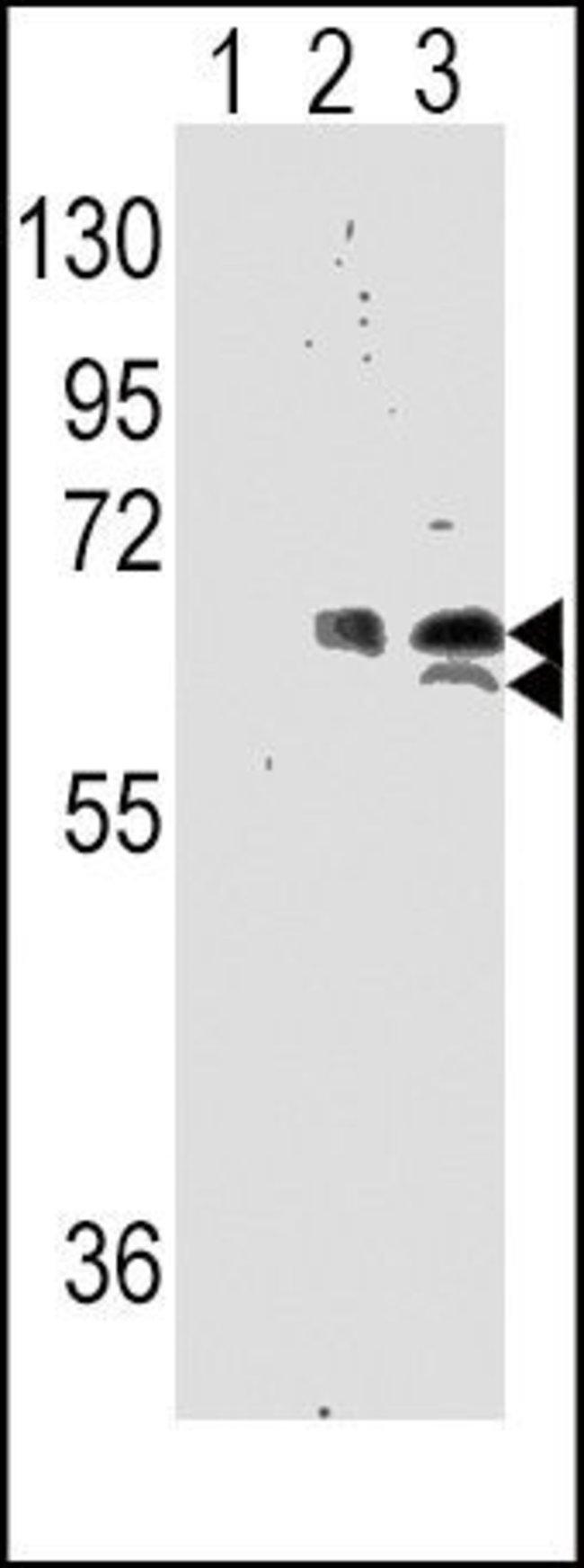 p70 S6 Kinase Rabbit anti-Human, Polyclonal, Invitrogen 400 µL; Unconjugated
