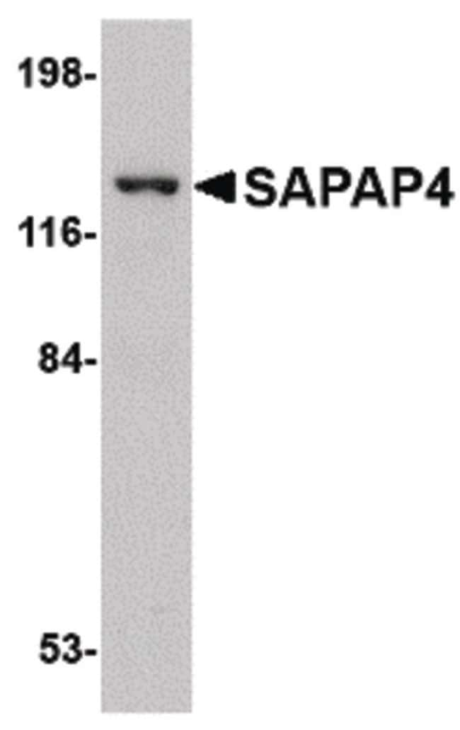 SAPAP4 Rabbit anti-Human, Polyclonal, Invitrogen 100 µg; Unconjugated