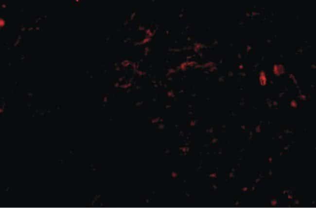 SIRT2 Rabbit anti-Human, Mouse, Rat, Polyclonal, Invitrogen 100 µg;