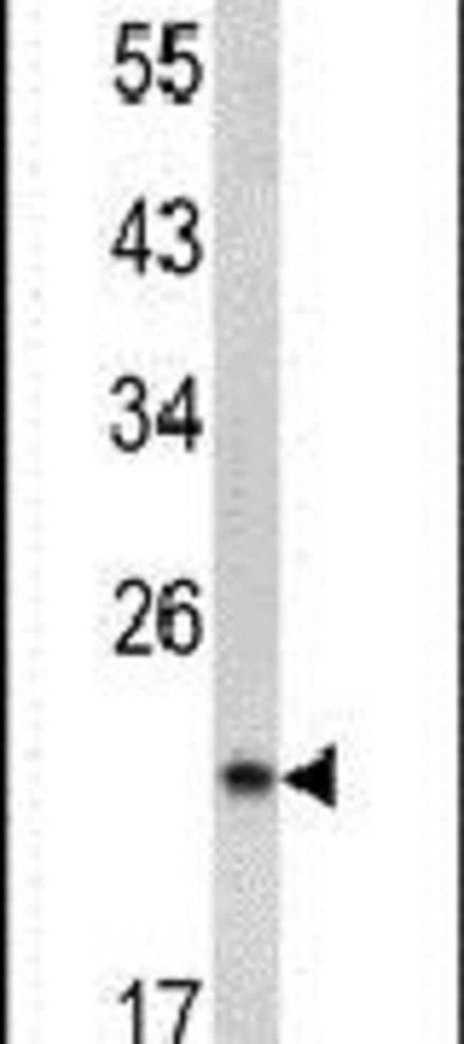 SPCS3 Rabbit anti-Human, Mouse, Polyclonal, Invitrogen 400 µL; Unconjugated