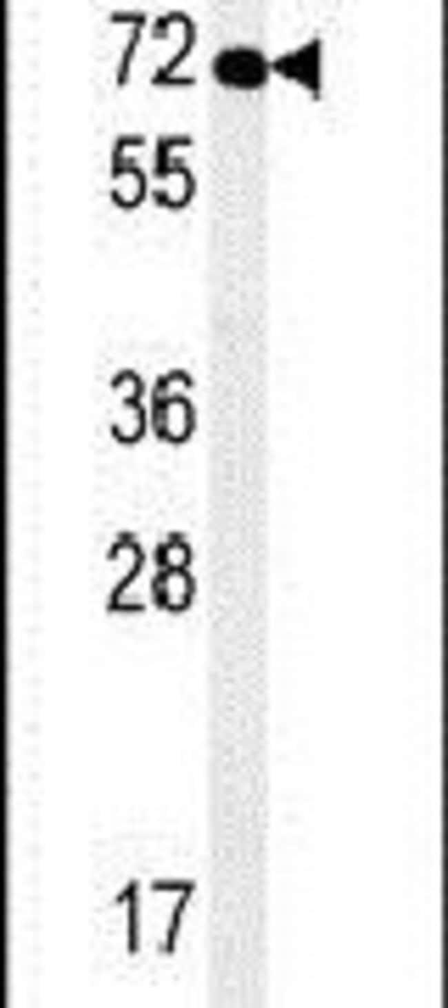 SPATA13 Rabbit anti-Human, Polyclonal, Invitrogen 400 µL; Unconjugated