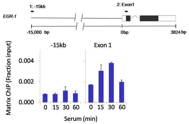 SPATA16 Rabbit anti-Human, Mouse, Polyclonal, Invitrogen 100 µg; Unconjugated