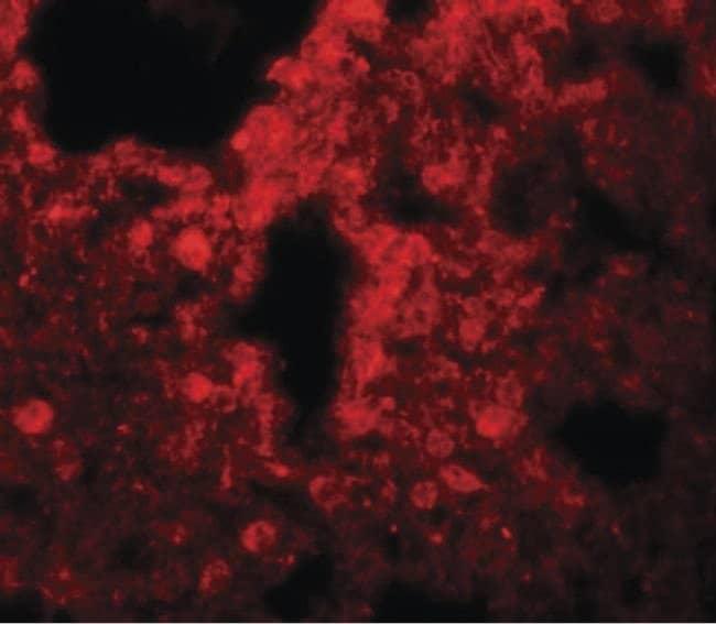 SRPX2 Rabbit anti-Human, Mouse, Rat, Polyclonal, Invitrogen 100 µg;