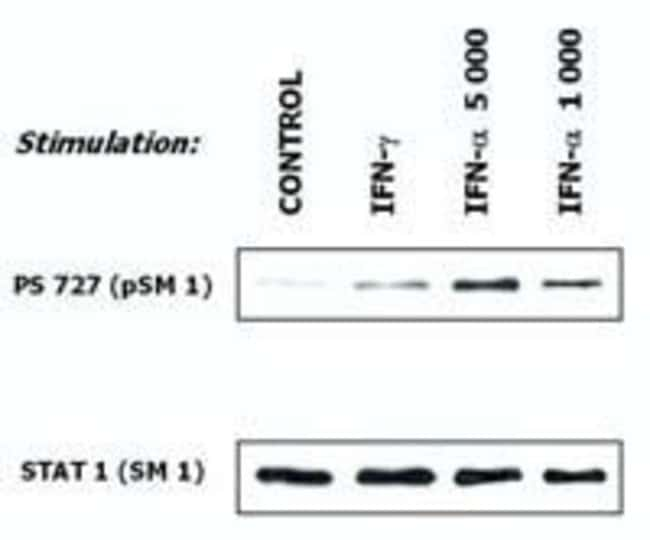 STAT1 Mouse anti-Human, Mouse, Clone: SM1, Invitrogen 100 µg; Unconjugated