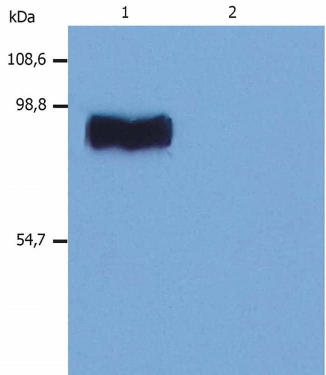 STIM1 Mouse anti-Human, Mouse, Rat, Clone: CDN3H4, Invitrogen 100 µg;