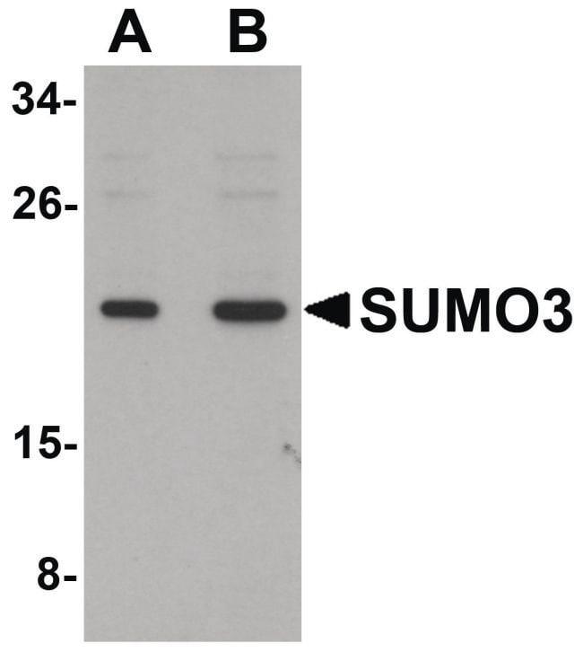 SUMO-3 Rabbit anti-Human, Mouse, Rat, Polyclonal, Invitrogen 100 µg;