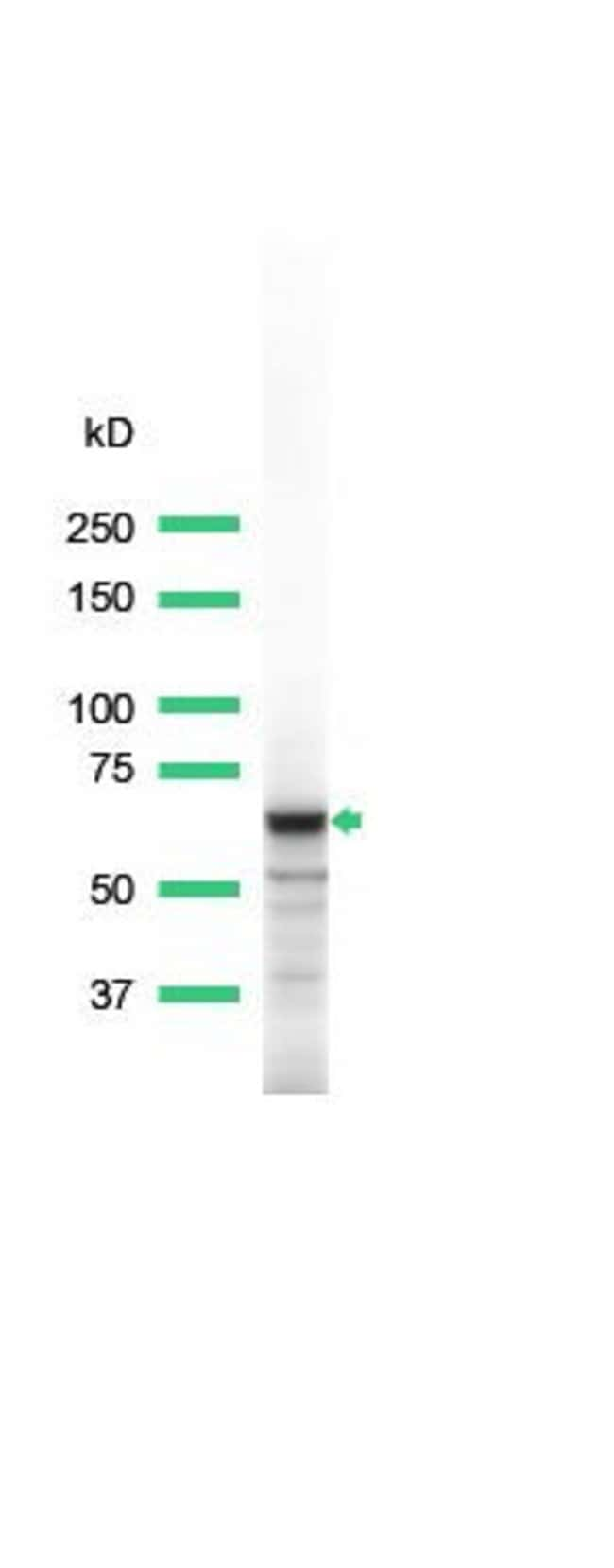 Syk Rabbit anti-Human, Polyclonal, Invitrogen 1 mL; Unconjugated:Antibodies
