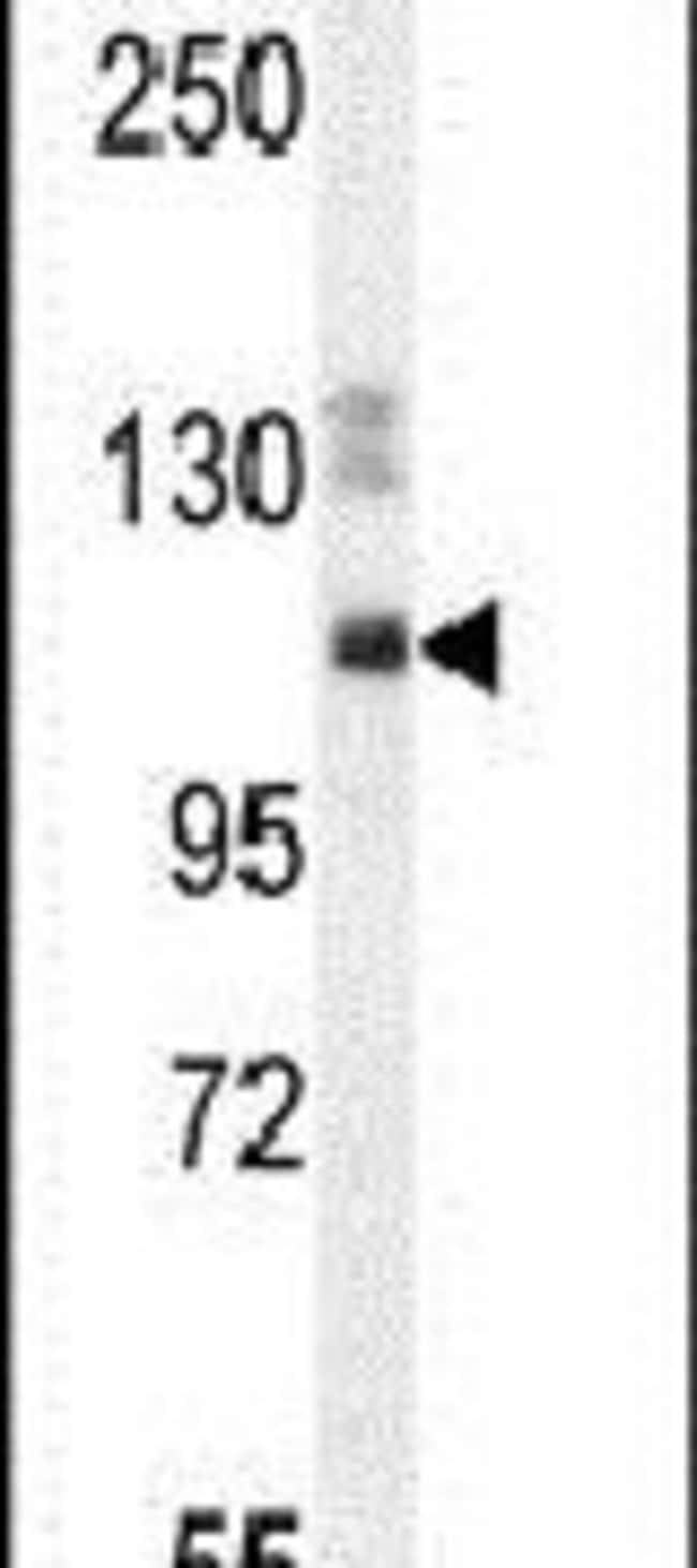 SYNE3 Rabbit anti-Human, Mouse, Polyclonal, Invitrogen 400 µL; Unconjugated