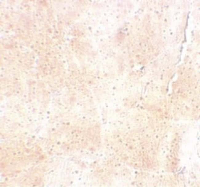 SYNPO2 Rabbit anti-Human, Mouse, Polyclonal, Invitrogen 100 µg; Unconjugated
