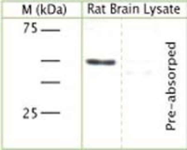Synaptotagmin 1 Rabbit anti-Mouse, Rat, Polyclonal, Invitrogen 100 µL;