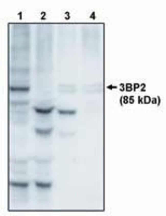 SH3BP2 Sheep anti-Mouse, Polyclonal, Invitrogen 250 μg; Unconjugated:Antibodies