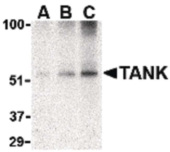 TANK Rabbit anti-Human, Mouse, Rat, Polyclonal, Invitrogen 100 µg;